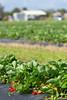Strawberries 039_1