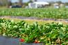 Strawberries 038_1