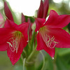 Two Crinum blooms. Very unusual coloring -- sort of a blend of magenta, red and pink.
