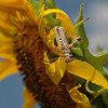 A close-up of a grasshopper chewing on petals of a sunflower plant. It's a bad year for grasshoppers. I don't recall ever seeing so many at the ranch. They are everywhere. Some of the plants -- especially the sunflowers -- have nearly been wiped out by the destructive little pests.