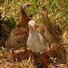 Baby guinea fowl chicks -- looking for grasshoppers.