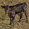 Fine looking calf -- very alert and active.