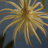 Our night blooming cereus from behind.  It spanned about 8 inches.