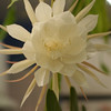 Our night blooming cereus in full bloom.  This queen of the night only blooms for one night a year.  This year we had 2 beautiful 8 inch flowers.  I took these shots at dusk.