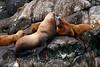 Sea Lions, Resurrection Bay, Kenai Fjords Tour
