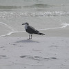 Gull at Fort Walton Beach