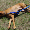 This Lake stuff does get tiring<br /> Vizslas do require a consistent training program as a puppy, however their intelligence makes training both a joy & sometimes a frustration. They do tend to test their owners, to see if the rules really do apply to them, all of the time. But once the rules, boundaries & expectation are understood by a Vizsla, you will have one of the most amazing animals as a friend & companion.