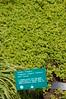 Golden Oregano - Origanum vulgare 'Aureum'