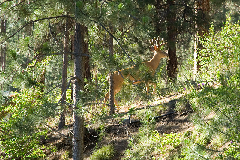While cooking dinner with Grandma Kate at her house, Sarah spotted two bucks eating from a bush in the backyard.  There was one more up on the ridge.  Sarah took photos in the yard and then Steve followed them up the hill and into a meadow.