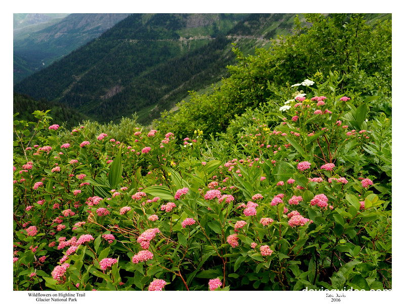 Wildflowers on the High Line Trail, Glacier National Park, 2016