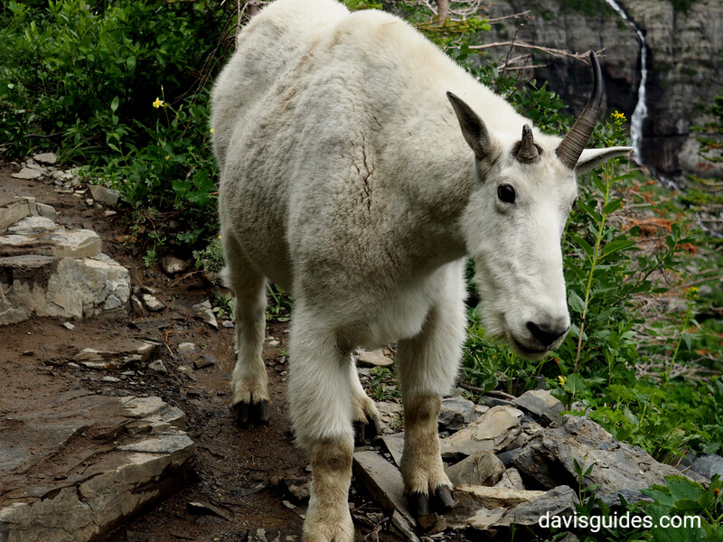Mountain goat on the High Line Trail, 2016