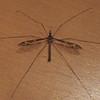 Cranefly/Schnake (Tipulidae)