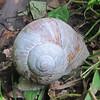 Burgundy Snail/Weinberg Schnecke (Helix pomatra)