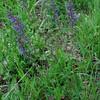 Sage/Wiesen Salbei (Salvia pratensis)