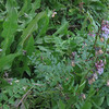 BirdVetch/Vogel Wicke (Vicia cracca)
