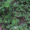 Herb Robert/Stinkender Storchschnabel (Geranium robertianum)