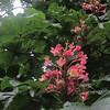 Horse Chestnut/Gewöhnliche Rosskastanie (Aesculus hippocastanum)