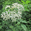 Black Elderberry/Schwarzer Holunder (Sambucus nigra)