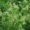 Wild Madder/Kleinblütiges Wiesen-Labkraut (Galium mullugo)