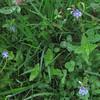 Germander Speedwell/Gamarder Ehrenpreis (Veronica chamcedrys) & Red Clover/Wiesen Klee (Trifolium pratense)