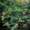 Honeysuckle Azalea/Pontische Azalea (Rhododendron luteum)