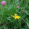 Birdfoot Trefoil/Gewöhnlicher Hornklee & Red Clover/Wiesen Klee (Trifolium pratense