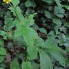 Cursed Buttercup/Gift Hahnenfuss (Ranunculus sceleratus)