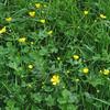 Tall Buttercup/Scharfer Hahnenfuss (Ranunculus acris)
