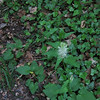 Spiked Rampion/Ahriga Teufelskralle (Phyteuma spicatum)