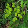 Cypress Spurge/Zypressen Wolfsmilch (Euphorbia cyparissias)