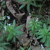 Sweet Woodruff/Waldmeister (Galium odoratum)