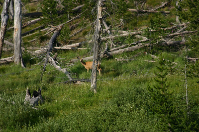 A deer near Lewis Falls in Yellowstone National Park