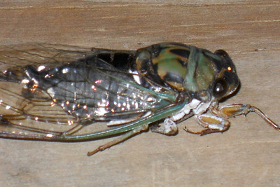 """These are called Cicadas, Harvest-flies and """"Locusts."""" The adult male """"sings,"""" often very loudly and shrilly, by vibrating membranes stretched over a pair of sound-chambers situated, one at each side, near the base of the abdomen. Thirteen-year Locust in the South - is Magicicada (formerly Tibicina) septendecim. 2010 Kane / Kennemer Family Reunion, Canton, Texas. (Image taken by the Cano family on 21 Jul 2010 with COOLPIX S570 at ISO 100, f6.6, 1/60 sec and 65mm)"""