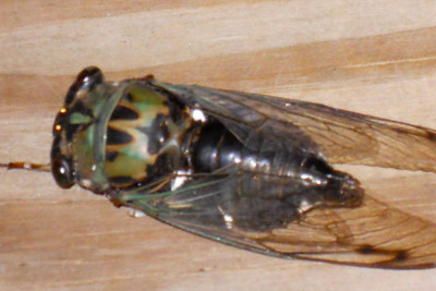 """These are called Cicadas, Harvest-flies and """"Locusts."""" The adult male """"sings,"""" often very loudly and shrilly, by vibrating membranes stretched over a pair of sound-chambers situated, one at each side, near the base of the abdomen. Thirteen-year Locust in the South - is Magicicada (formerly Tibicina) septendecim. 2010 Kane / Kennemer Family Reunion, Canton, Texas. (Image taken by the Cano family on 21 Jul 2010 with COOLPIX S570 at ISO 320, f6.6, 1/60 sec and 65mm)"""