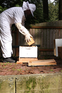 Dumping a clump of bees into the hive.
