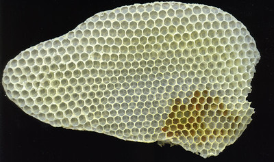 Richard scanned the largest piece of free roaming honeycomb he removed from the hive yesterday.  The Architecture is amazing.