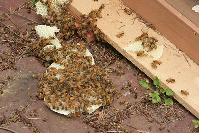 The comb once it was removed but the bees kept clinging to it.