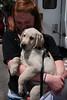 GDB Puppy Royce