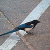 "I think this is a ""Magpie"" bird. The locals told me that they raid the camp grounds."