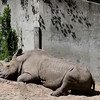 A Rhino at rest.