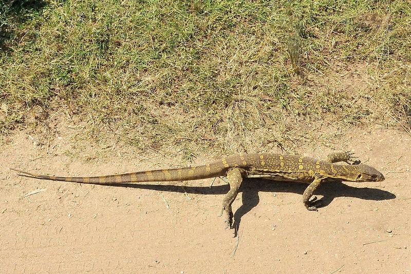 Lizard, Varaan