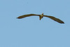 WITH A 5' WING SPAN ,  LAND IN  INTERTWINED  BRANCHES ?