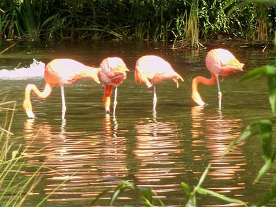 Sacramento Zoo -- flamingos
