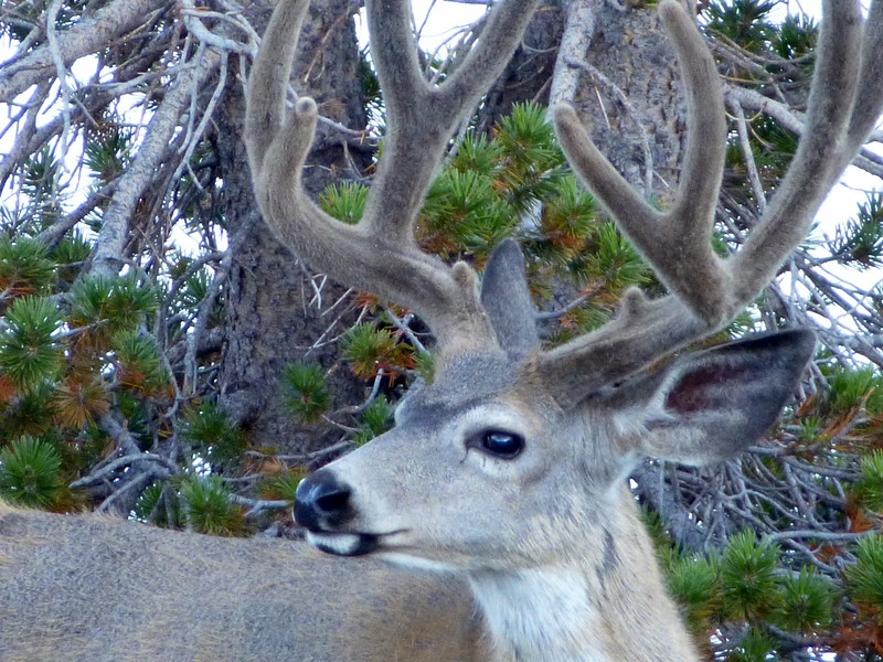 Large antlers covered with fuzzy velvet