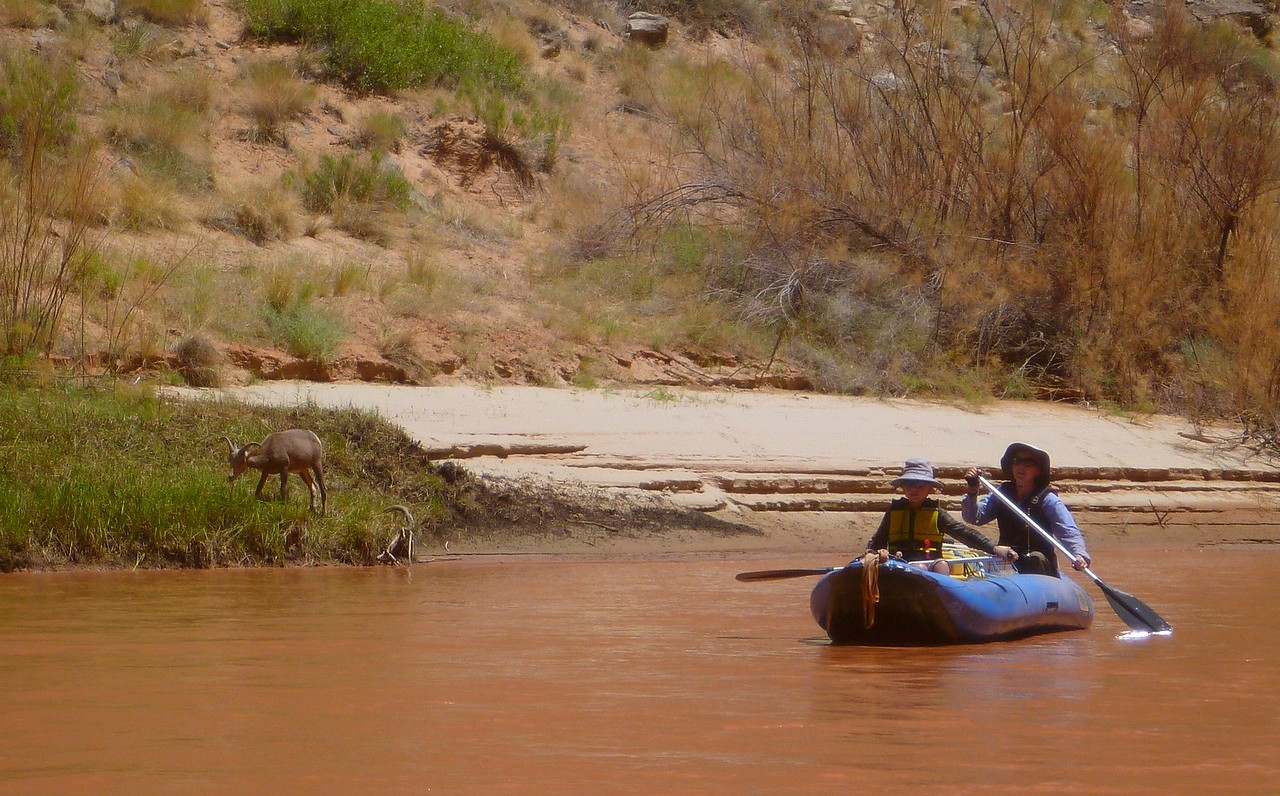 The bighorns were not shy. We could paddle very close to them. We also saw some wild burros.