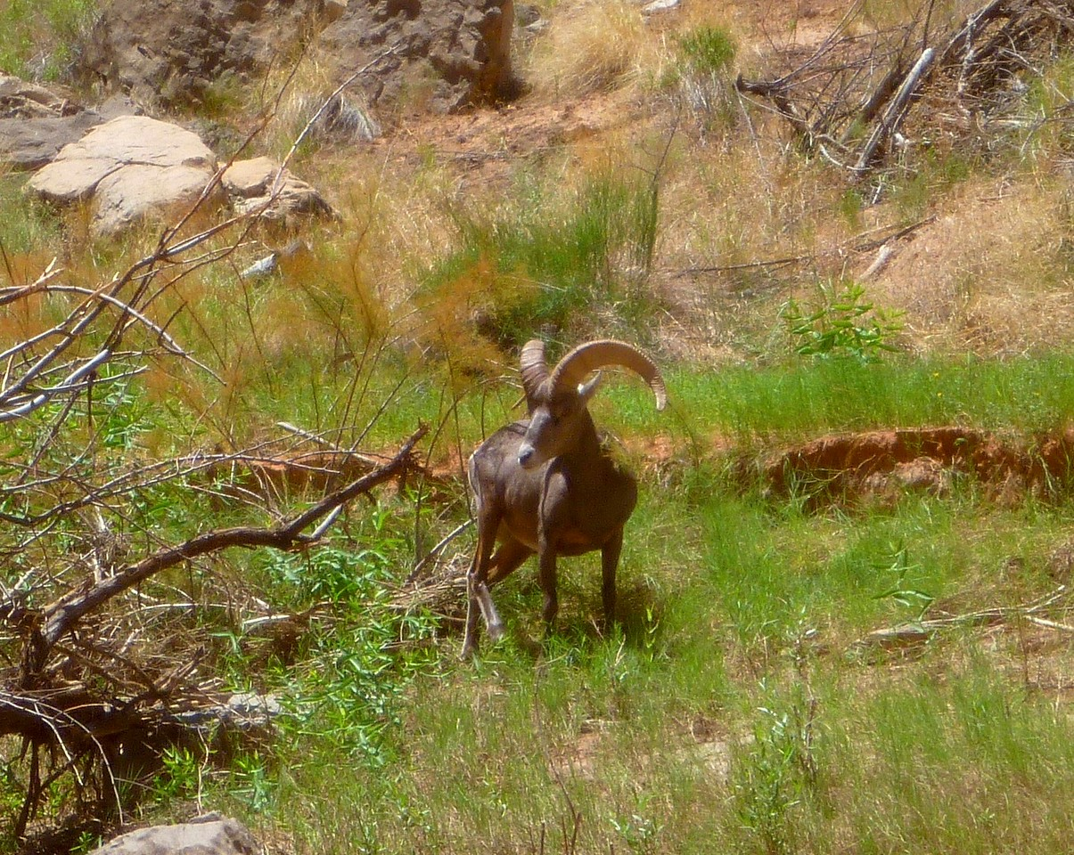 Lots of bighorn sheep along the river.