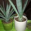 Tequila plants!