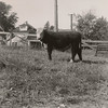 Mom's calf at 15 months. The calf was born with a broken shoulder. Mom made a sling in the barn and fed it oatmeal until it was healed.