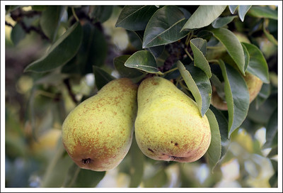 The pear tree at La Connor was loaded with pears.