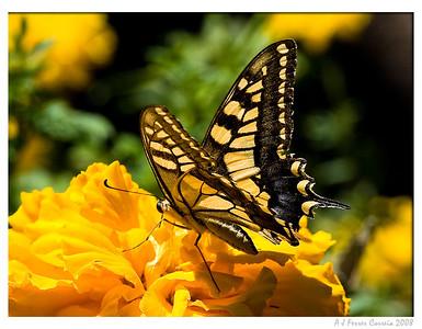 Papilio machaon (macho)